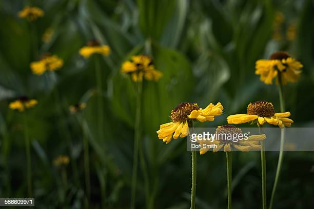 asters and corn lilies at summit meadow - カリフォルニアバイケイソウ ストックフォトと画像