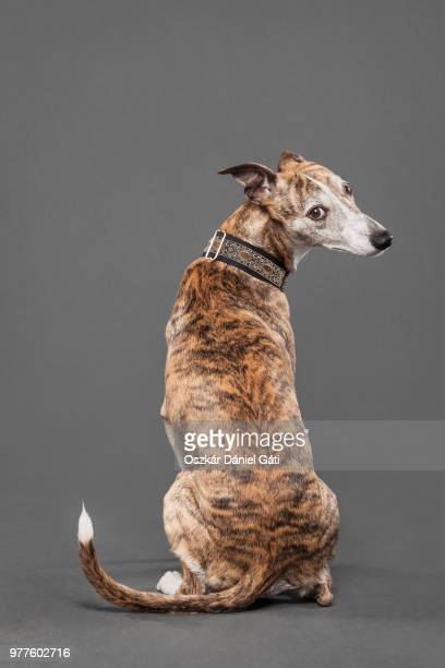 asti - whippet stock pictures, royalty-free photos & images