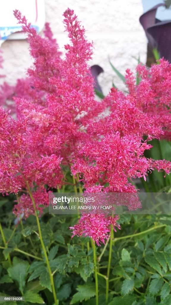 Astilbe flowers are growing in the garden : Stock Photo