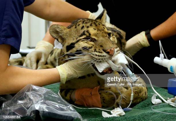 Aston a thirteen year old male Clouded Leopard has dentistry work to repair all four of his fractured canine teeth at Port Lympne Hotel amp Reserve...