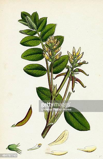 Astragalus glycyphyllus Sweet MilkVetch