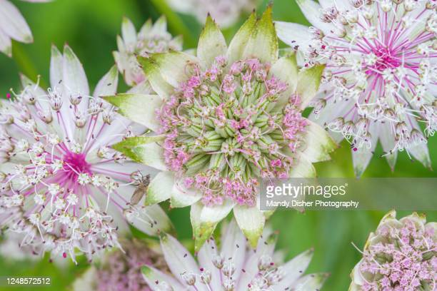 astrantia flowers - mandy pritty stock pictures, royalty-free photos & images