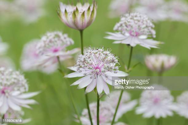 astrantia major - mandy pritty stock pictures, royalty-free photos & images