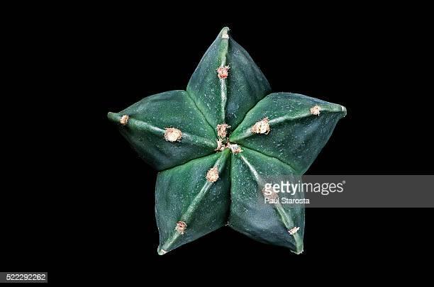 astrophytum myriostigma var. nudum (bishop's cap, bishop's hat, bishop's miter) - mitre stock pictures, royalty-free photos & images