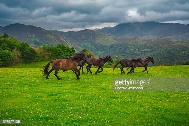 Asturcon  native horse in Asturias
