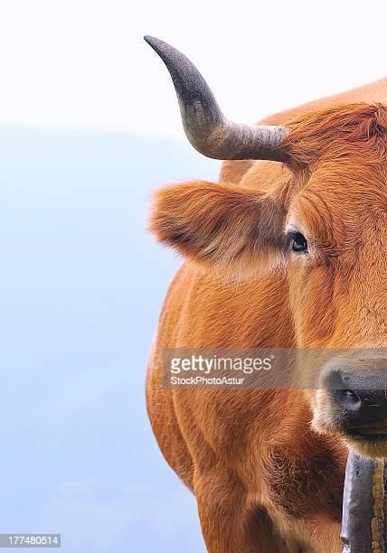 Asturian Valley cow
