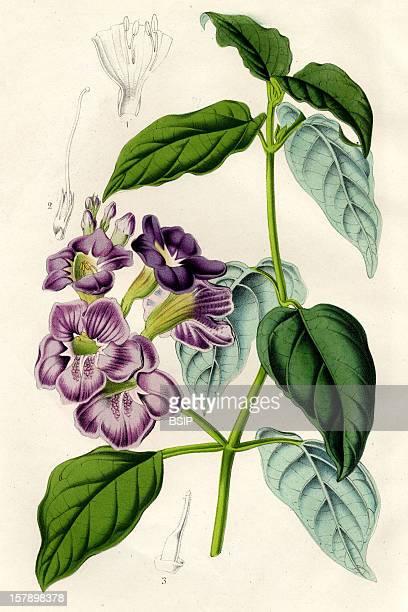 Asystasia Gangetica Acient Engraving. Asystasia Coromandeliana, Now Known As Asystasia Gangetica.Asystasia Gangetica , Acanthaceae , Eudicotyledon ,...