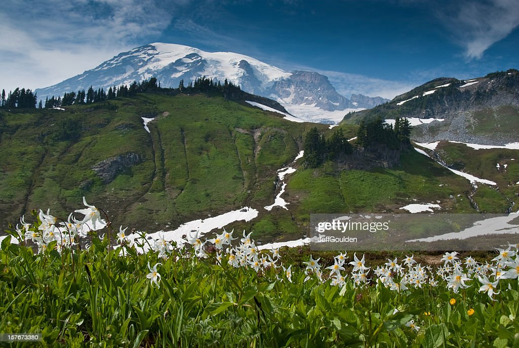 Meadow of Avalance Lilies : Stock Photo