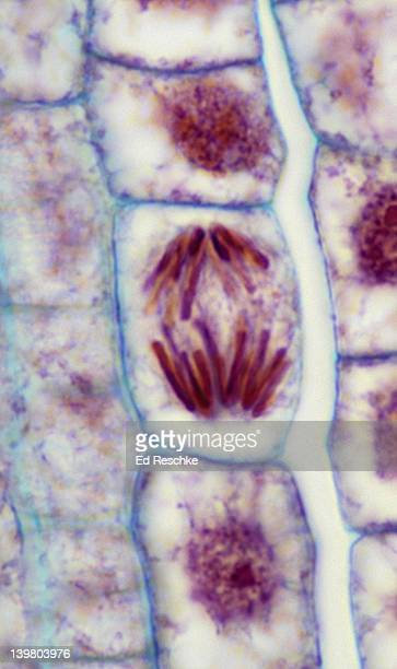 plant mitosis; anaphase, 500x at 35mm, onion (allium) root tip. chromosomes are moving apart and toward the poles. - anaphase stock pictures, royalty-free photos & images