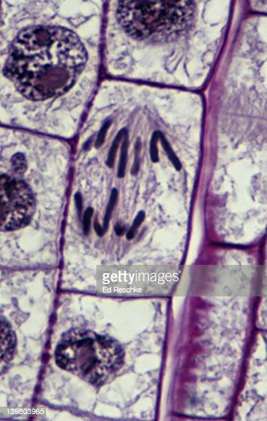PLANT MITOSIS; ANAPHASE, 500X at 35mm, ONION (Allium) ROOT TIP. Shows: chromosomes migrating to the poles, spindle fibers, cytoplasm, and cell wall.