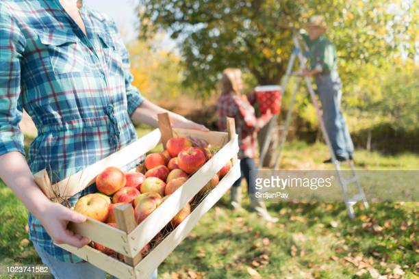 at a family farm - apple fruit stock pictures, royalty-free photos & images