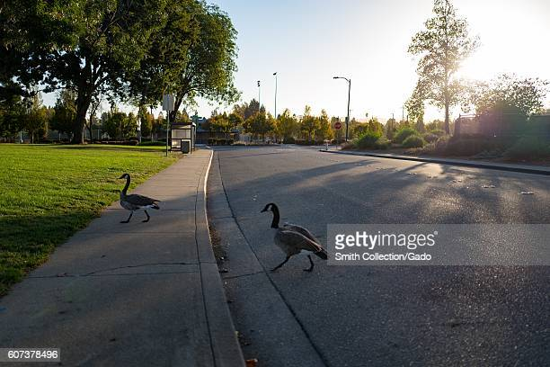 At dawn Canada geese cross a road in a public park in the San Francisco Bay Area California September 13 2016