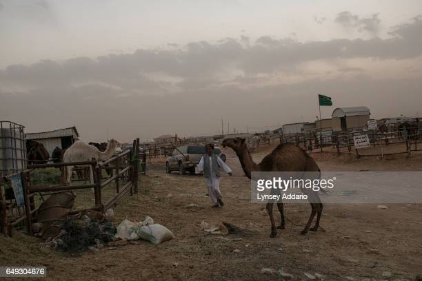 At dusk a man tends to his camels at market outside of Riyadh Saudi Arabia March 1 2013 Despite an extremely wealthy sector of society in Saudi...