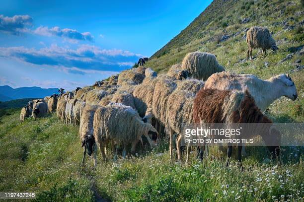at farkadona's-zarkos pastures 4 - dimitrios tilis stock pictures, royalty-free photos & images