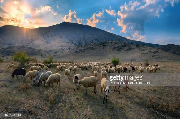 at farkadona's-zarkos pastures - dimitrios tilis stock pictures, royalty-free photos & images