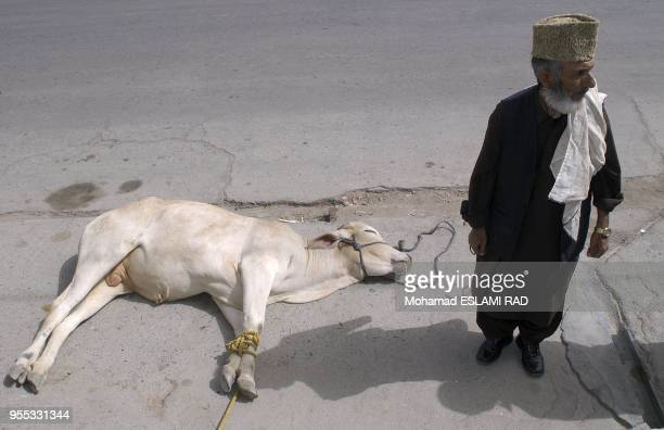 At the enterance aof a mosque in Zahedan a cow lay down to be sacrify for the arrival of Presidential condidate Ghalibaf