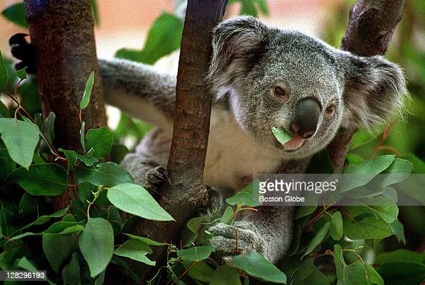 At the Franklin Park Zoo Kiley a 19monthold koala is eating hardtoget eucalyptus leaves Kiley was expected to be returned to the Zoo but because of...