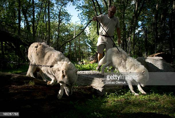 At the of the day Michael Hackenberger transports an arctic wolf and a grey wolf with his son Dirk from their pen into the cat barn at the...