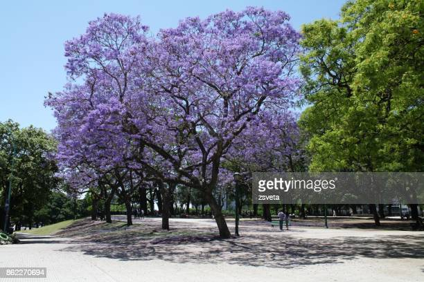 at the park - jacaranda tree stock pictures, royalty-free photos & images