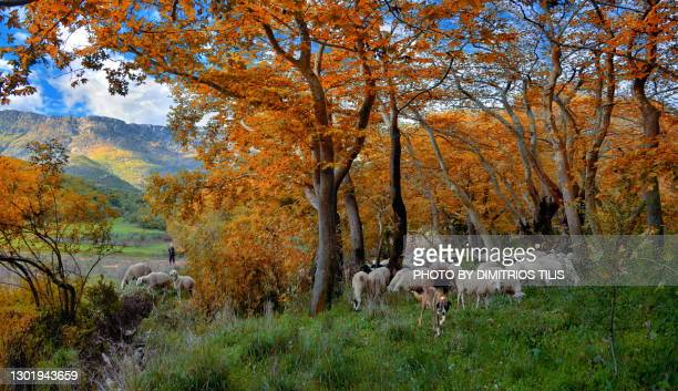 at the pastures of genesi - dimitrios tilis stock pictures, royalty-free photos & images