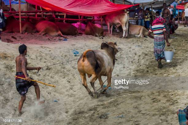At the time of Eid to earn some extra money some people become cattle handler as they are not experienced enough for this mishap happens around at...