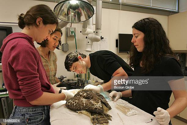 At the Tufts University Cummings School of Veterinary Medicine Wildlife Clinic intern Catherine Wood and students Kara Van Voorhis and Eli Cohen work...