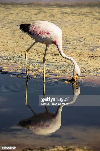 Atacama's flamingo