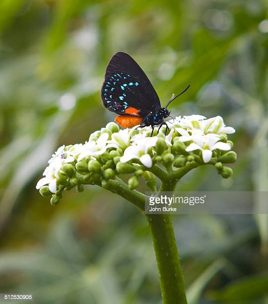 atala butterfly, eumaeus atala - eumaeus stock photos and pictures