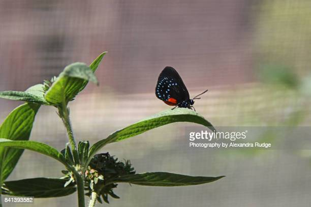 atala butterfly - eumaeus stock photos and pictures