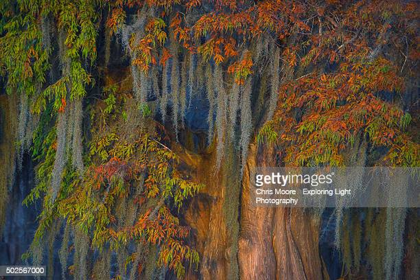 atchafalaya majesty - bald cypress tree stock photos and pictures