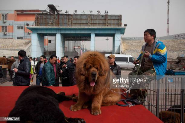 Atendees gather at a stage where Tibetan mastiff dogs are displayed for sale at a mastiff show in Baoding Hebei province south of Beijing on March 9...