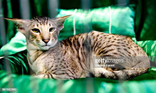 Athelstan Sauvage a Spotted Tabby Oriental Cat participates in the GCCF Supreme Cat Show at National Exhibition Centre on October 28 2017 in...