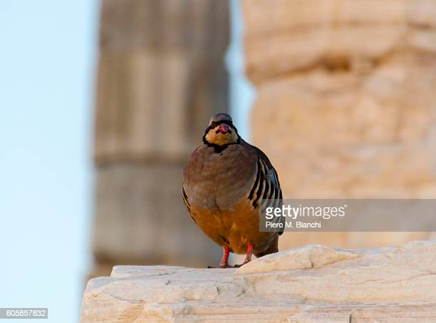 athens - common quail stock pictures, royalty-free photos & images