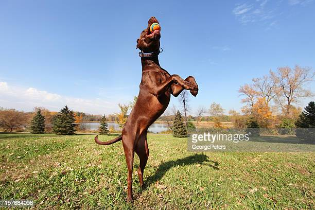 athletic dog jumping and catching ball - chocolate labrador stock pictures, royalty-free photos & images