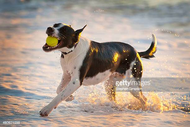 athletic dog with tennis ball in the surf