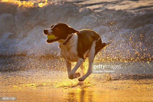 athletic dog with tennis ball in the surf - くわえる ストックフォトと画像