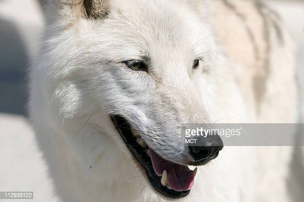 Atka an Arctic wolf at a press conference to introduce the Protect America's Wildlife Act on Capitol Hill in Washington DC Tuesday September 25 2007...