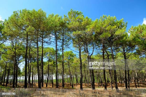 atlantic beach - pine woodland stock pictures, royalty-free photos & images