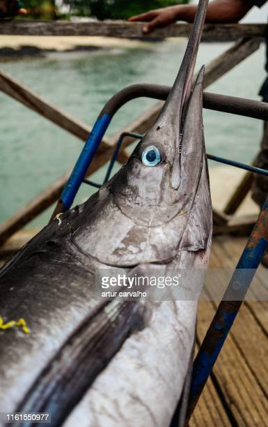 atlantic blue marlin - sailfish stock pictures, royalty-free photos & images