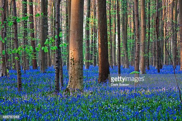 Atlantic Bluebells or Common Bluebells -Hyacinthoides non-scripta-, Hallerbos, Halle, Flemish Brabant province, Flemish Region, Belgium