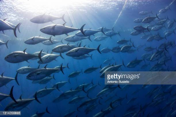 atlantic bluefin tuna industrial fishing - underwater diving stock pictures, royalty-free photos & images
