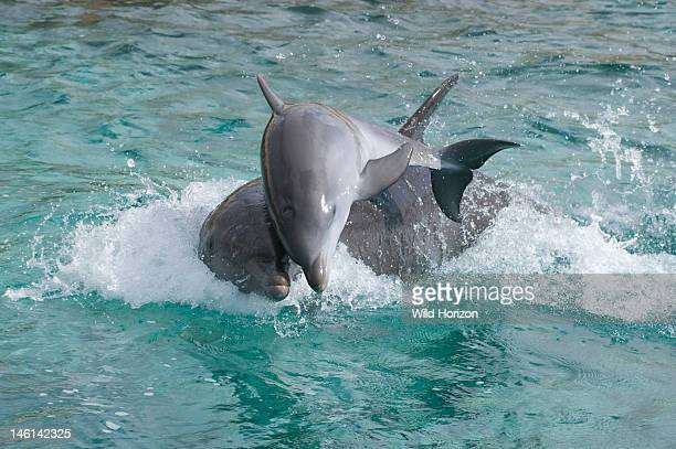 Atlantic bottlenose dolphin baby and mother playing Curacao Netherlands Antilles Photo 1 of 4