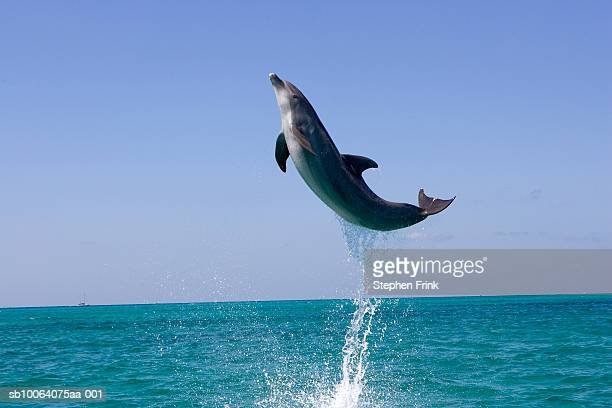 atlantic bottlenose dolphin (tursiops truncatus) jumping above ocean - dolphin stock pictures, royalty-free photos & images