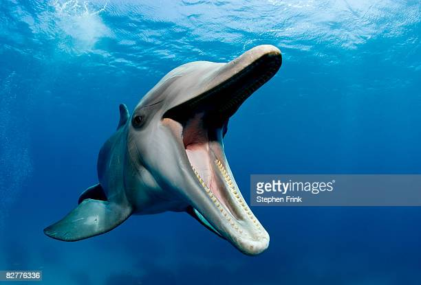 atlantic bottlenose dolphin, tursiops truncatus - dauphin photos et images de collection