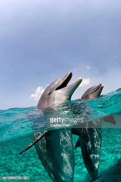 Atlantic bottlenose dolphins (Tursiops truncatus)