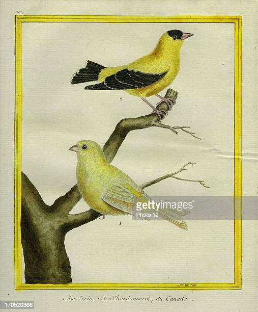 Atlantic Canary and American Goldfinch Carduelis tristis1 Atlantic Canary2 Le Chardonneret du CanadaGeorgesLouis Leclerc Comte of Buffon Natural...