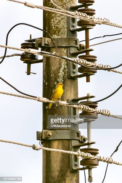 atlantic canary between wires from a public light pole. - crmacedonio photos et images de collection
