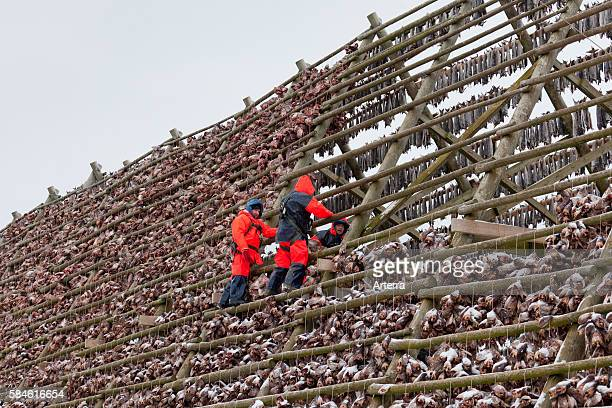 Atlantic cod drying as stockfish on wooden racks / hjell to sell as dried fish in the Lofoten Norway Scandinavia