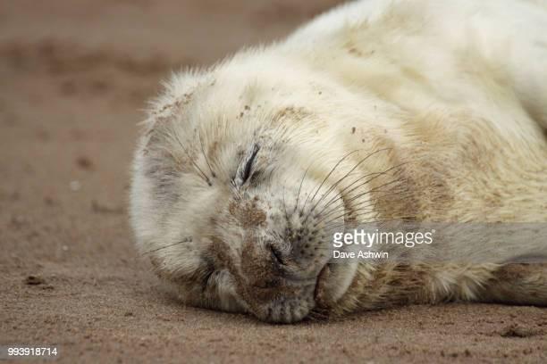 atlantic grey seal halichoerus grypus