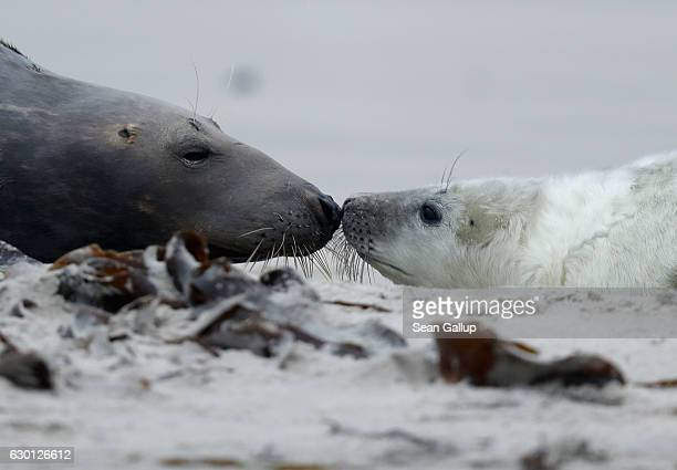 Atlantic grey seal mother and pup snuggle on the beach on December 16 2016 on the Duene portion of Heligoland archipelago Germany A local...